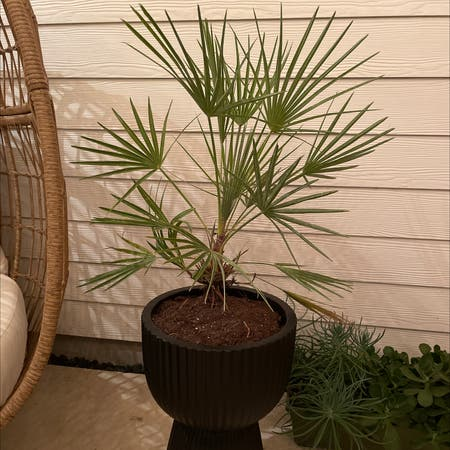 Photo of the plant species Mediterranean Dwarf Palm by Sharon named Queenie on Greg, the plant care app
