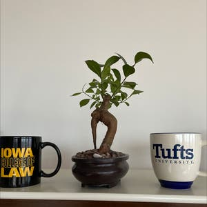 Ficus Ginseng plant photo by Rebecca named Foxxy on Greg, the plant care app.