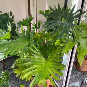 Tree Philodendron plant photo by Clarikatie named Felix on Greg, the plant care app.