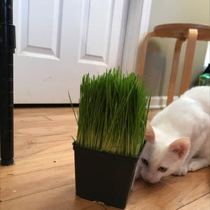 Wheatgrass plant photo by Beanzcanhazplantz named Willow on Greg, the plant care app.