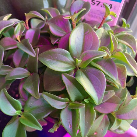 Photo of the plant species Heartleaf Ice Plant by Spoiledrotten named Sun Rose on Greg, the plant care app