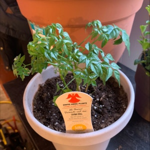 China Doll Plant plant photo by Spoiledrotten named Little doll on Greg, the plant care app.