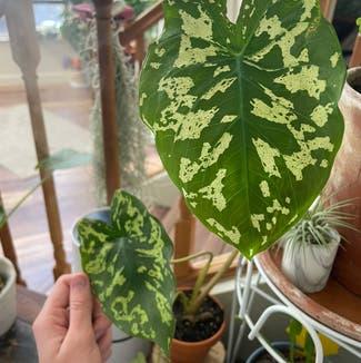 Colocasia 'Hilo Beauty' plant in Reno, Nevada
