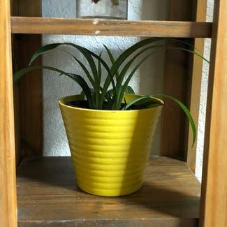 Spider Plant plant in Reno, Nevada
