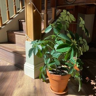 Dwarf Umbrella Tree plant in Reno, Nevada