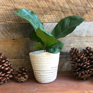 Fiddle Leaf Fig plant in Reno, Nevada