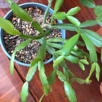 False Christmas Cactus plant in Reno, Nevada