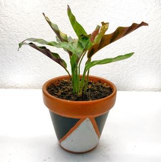 Rattlesnake Plant (prev. Calathea lancifolia) plant in Reno, Nevada