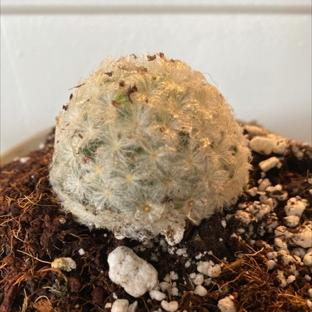 Photo of the plant species Feather Cactus by Shoe named Duke on Greg, the plant care app