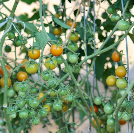 Photo of the plant species Heirloom Tomato by Barbara named Sun Gold Tomato on Greg, the plant care app