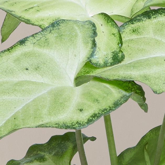 Arrowhead Plant plant