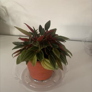 Emerald Ripple Peperomia plant in Somewhere on Earth