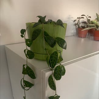 Satin Pothos plant in Somewhere on Earth