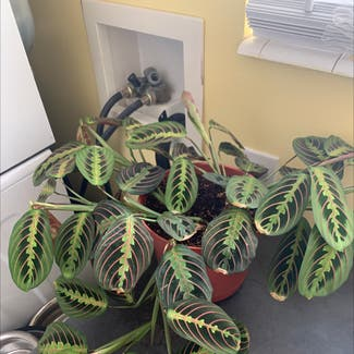 Red Prayer Plant plant in Somewhere on Earth