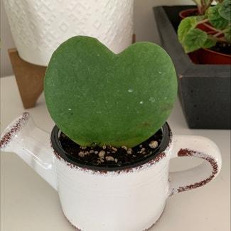 Sweetheart Hoya plant in Somewhere on Earth