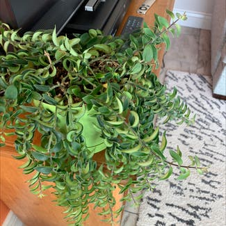 Lipstick Vine plant in Somewhere on Earth