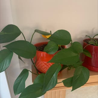 Pothos 'Jade' plant in Somewhere on Earth