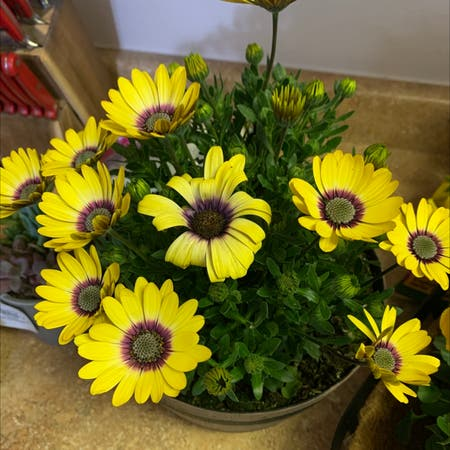 Photo of the plant species African daisy by Betterskatethannever named Anni on Greg, the plant care app