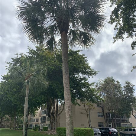 Photo of the plant species Sabal Palm by Jerry named Your plant on Greg, the plant care app