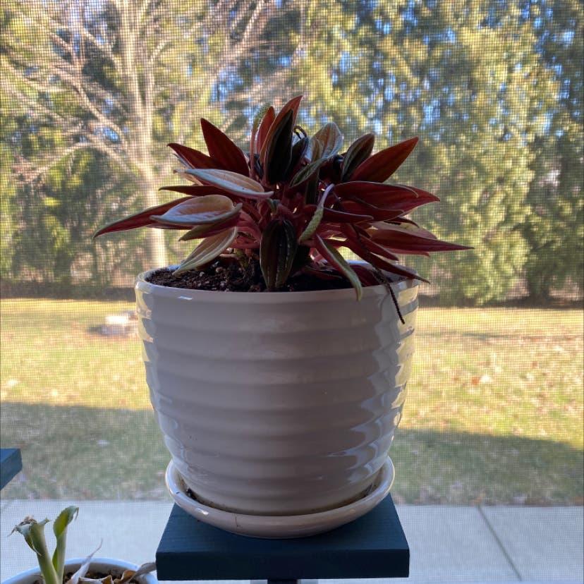 Zebrina plant in Archbald, Pennsylvania