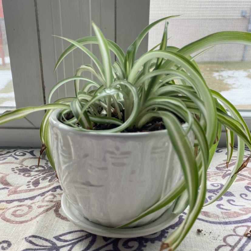 Spider Plant plant in Archbald, Pennsylvania