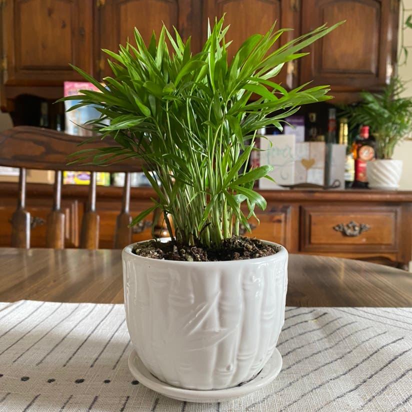 Parlour Palm plant in Archbald, Pennsylvania