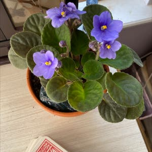 Rating of the plant African Violet named Helena by Shrikeplants on Greg, the plant care app