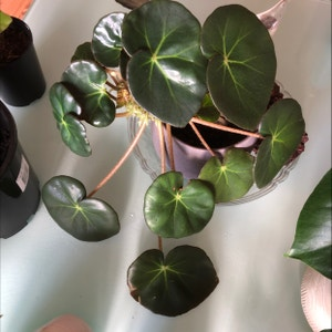 Beefsteak Begonia plant photo by Princesshev named Your plant on Greg, the plant care app.