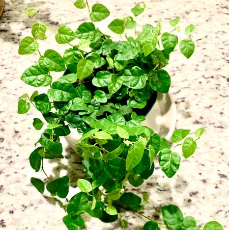 Photo of the plant species Bellus by Aaron named Creeping Fig on Greg, the plant care app