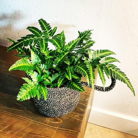 Photo of the plant species Holly-fern by Aaron named East Indian Holly Fern on Greg, the plant care app