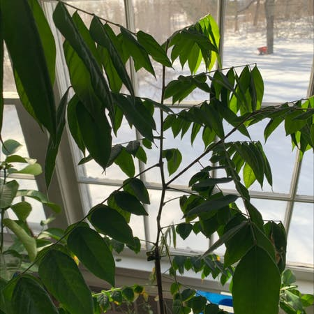Photo of the plant species Averrhoa carambola by Adams named Carambola on Greg, the plant care app