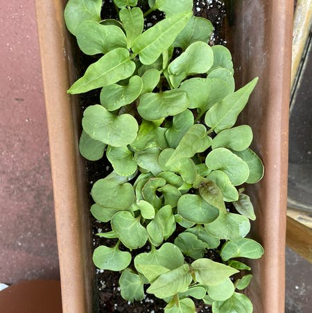 Photo of the plant species Water cress by Deni named Xena on Greg, the plant care app