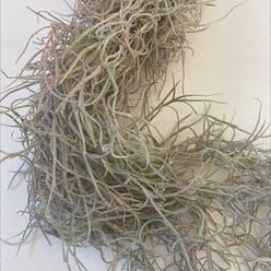 Spanish Moss plant