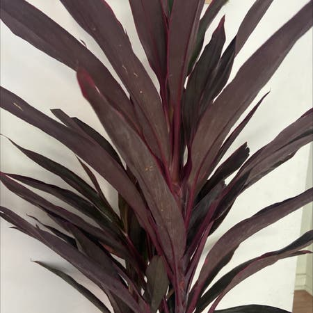 Photo of the plant species cordyline hot pepper by Anya named Dolores on Greg, the plant care app