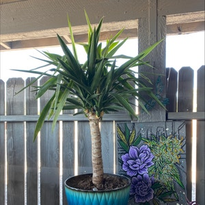 Blue-Stem Yucca plant photo by Leiahbeiah named Sideshow Bob on Greg, the plant care app.