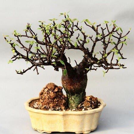 Photo of the plant species Bursera Hindsiana by Robert named Bursera hindsiana copal on Greg, the plant care app