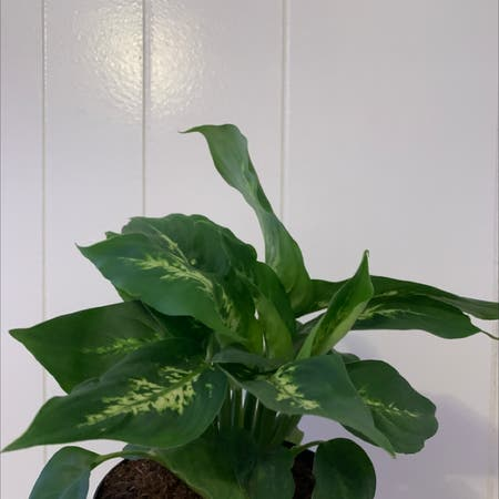 Photo of the plant species Dieffenbachia 'Panther' by Sinailiz named chia on Greg, the plant care app