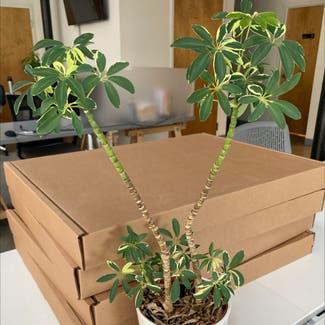 Dwarf Umbrella Tree plant in Revere, Massachusetts