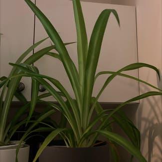 Spider Plant plant in Revere, Massachusetts