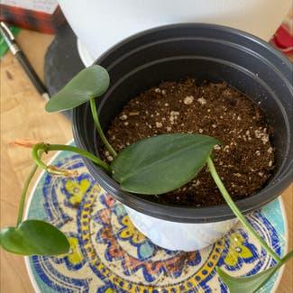 Pothos 'Jade' plant in Revere, Massachusetts