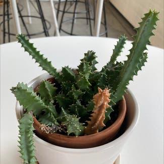 Candelabra Cactus plant in Revere, Massachusetts