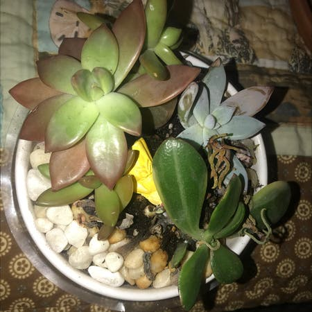 Photo of the plant species Graptoveria 'Harry Watson' by :) named John and kate plus 8 on Greg, the plant care app