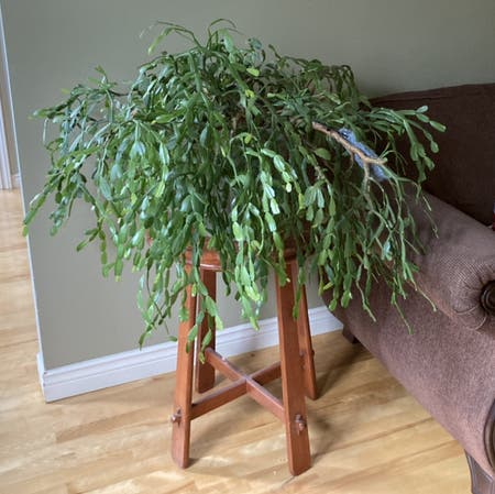 Photo of the plant species True Christmas Cactus by Elity named Liana on Greg, the plant care app