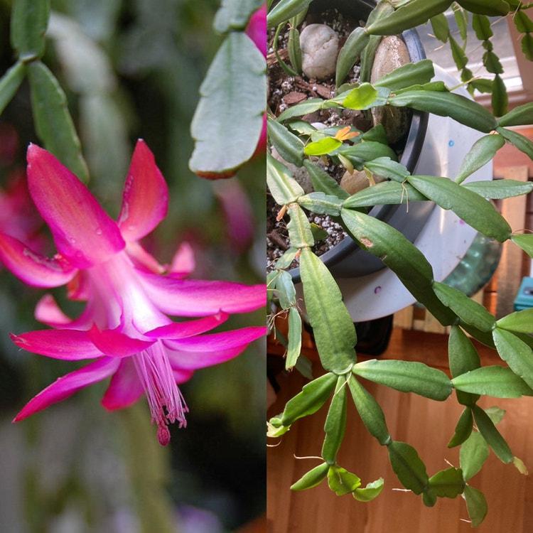 True Christmas Cactus plant