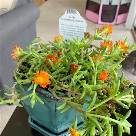 Photo of the plant species Trailing Ice Plant by Cmsegraves named Mandarin on Greg, the plant care app