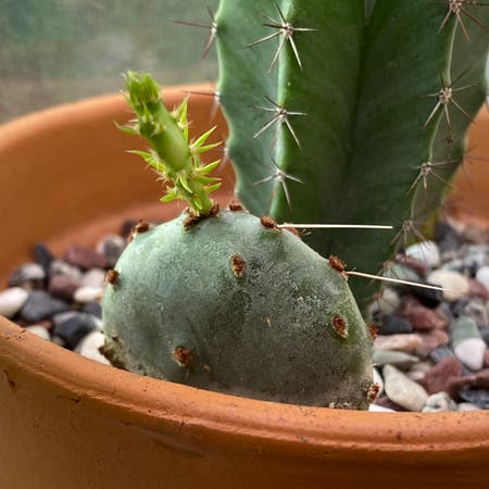Photo of the plant species Joconostle by Maya named Humpty dumpty on Greg, the plant care app