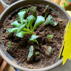 Pillow Feet Crinkle Leaf Plant plant