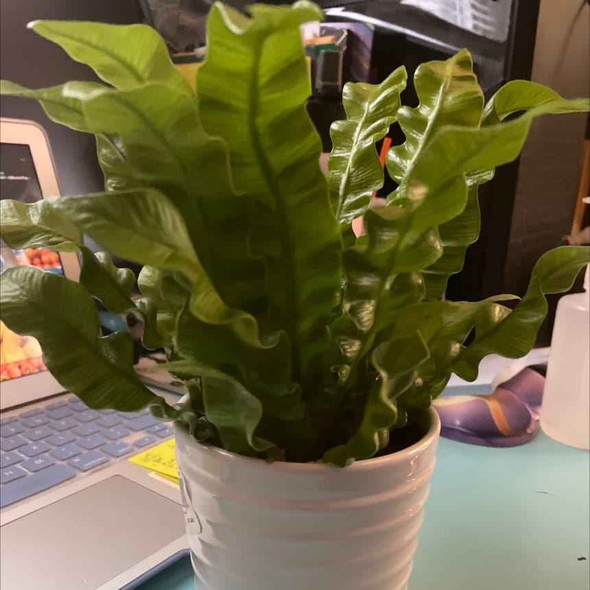 Crispy Wave Fern plant