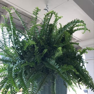 Kimberly Queen Fern plant in Somewhere on Earth