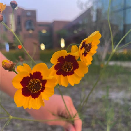 Photo of the plant species Coreopsis tinctoria by Lee named Goldie on Greg, the plant care app